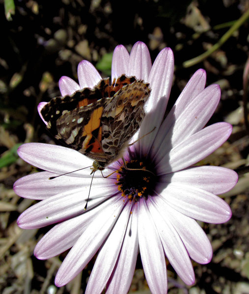 butterfly and daisy: common Australian Painted Lady butterfly on a daisy