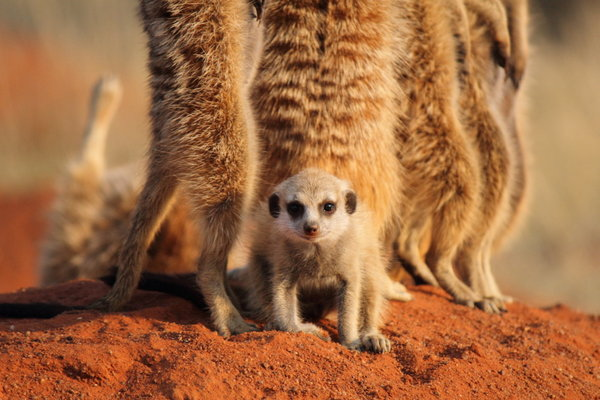 Meerkat pup and adults