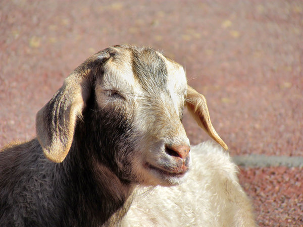 sleepy eyed goat
