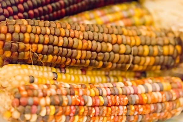 Indian Corn: no description