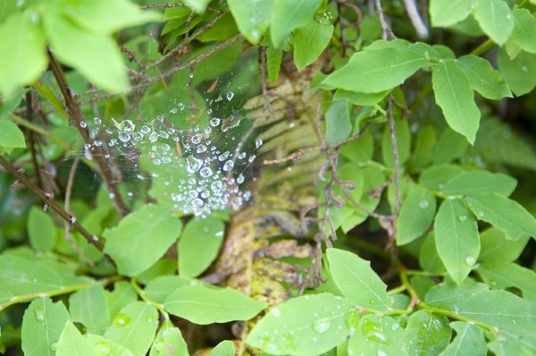 Wet Web: A spider's web with dew