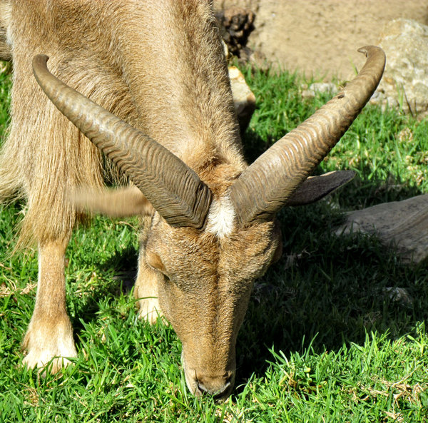 horned grazer1: Barbary sheep keeping grass down in zoo