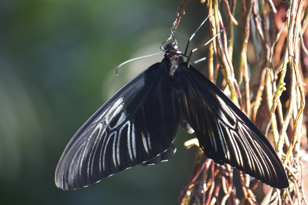 Birdwing butterfly
