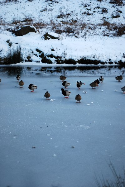 frozen river with ducks 1: a river freezes over.