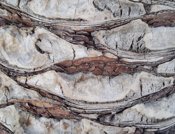 Palm Tree Bark