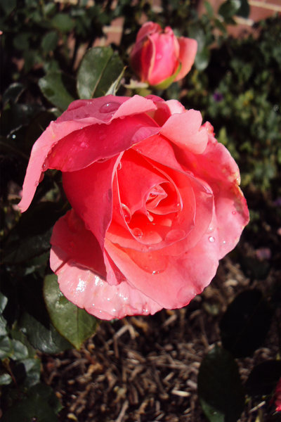 Rain drops on deep pink rose: A traditional English rose after a refreshing rainfall.