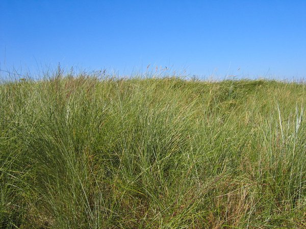 dune grass at the beach