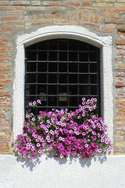 Venice flowers: A windowbox of petunia flowers in an old window in Venice.