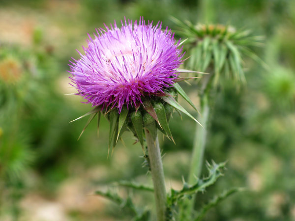 thistle: none