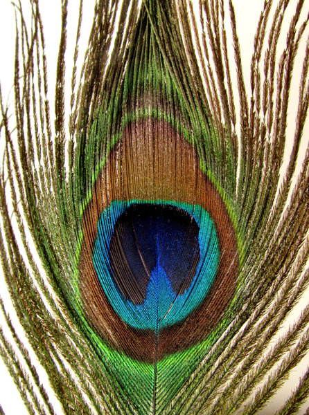 eye of the feather1: the colourful and iridescent eye of Indian peacock tail feather