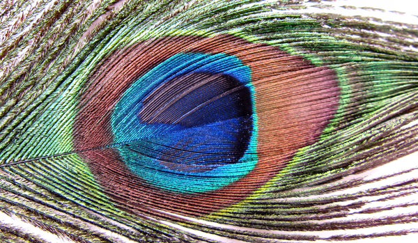 eye of the feather4: the colourful and iridescent eye of Indian peacock tail feather