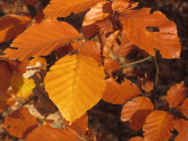 autumn beech leaves 2
