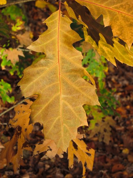 brown autumn oak leaves