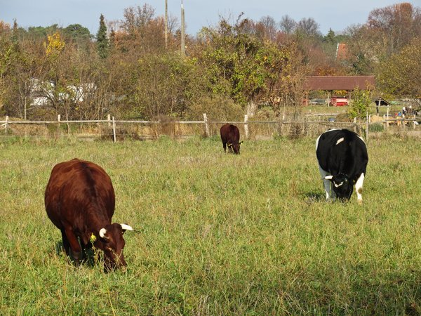 grazing cows 3