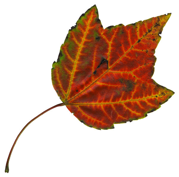 Leaf 19: An isolated fall leaf.