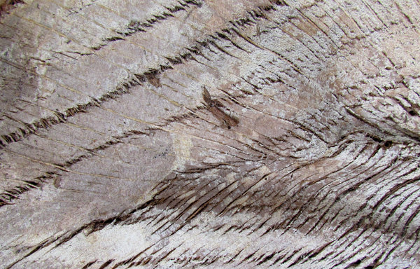 palm tree wood texture