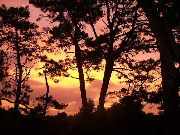 Pines at Sunset: the sky appears golden behind these pines