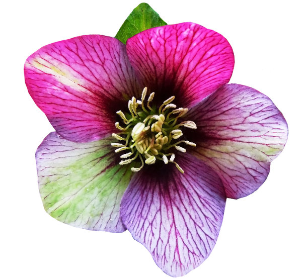 Hellebores in the pink: Rich deep pink and purple hues of the hellebores