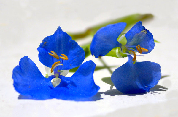 Tiny Blue Flower: A tiny blue flower on a white background. This is known as scurvy weed as early Australians used to boil the plant for food and it kept them from getting scurvy. I haven't edited the blemishes on the flowers.