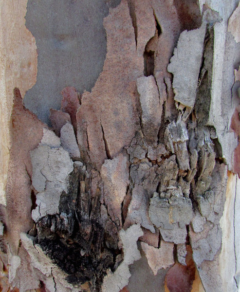 peeling bark textures6: texture and appearance variations of bark on self-shedding eucalypt tree