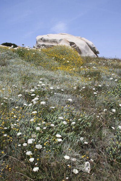 Flowers and boulders: Wild coastal flowers on a rocky cape in Sardinia.