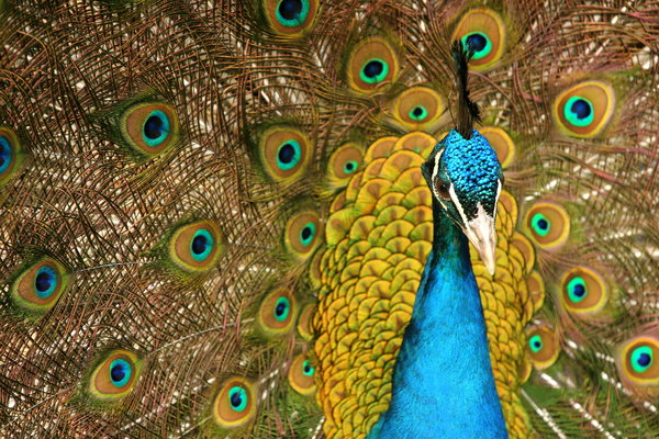 peacock close-up: