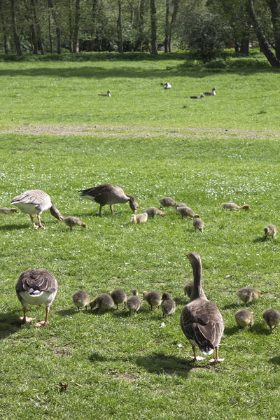 Meet the neighbours: Gaggles of greylag geese (Anser anser).