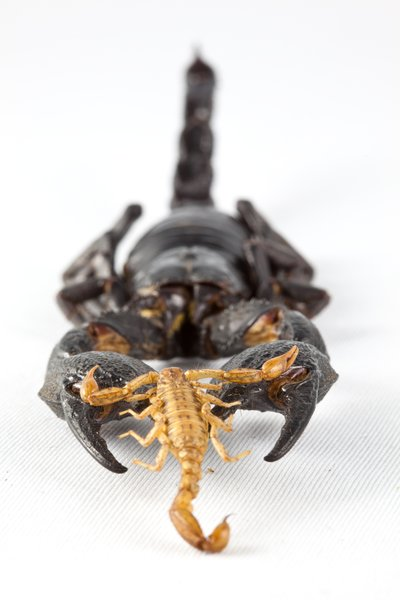 Against the Odds: Conceptual arrangement of 2 differently sized scorpions to convey a sense of scale and perhaps a feeling of sympathy towards the proverbial underdog. Like David & Goliath in the scorpion world.