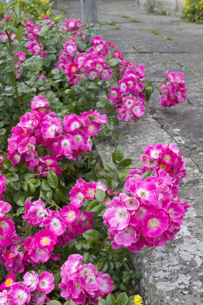 Pink roses: Rambling roses growing by an old raised stone path in Sussex, England.