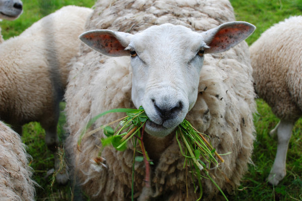 sheep chewing grass