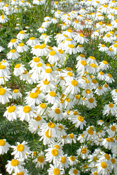 Big white daisies