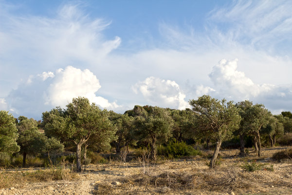 Olive grove in evening light: An olive grove in evening light in northern Cyprus.