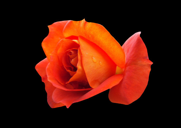 Orange Rose: Orange Rose with rich red and yellow hues