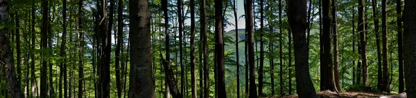 forest: forest panorama