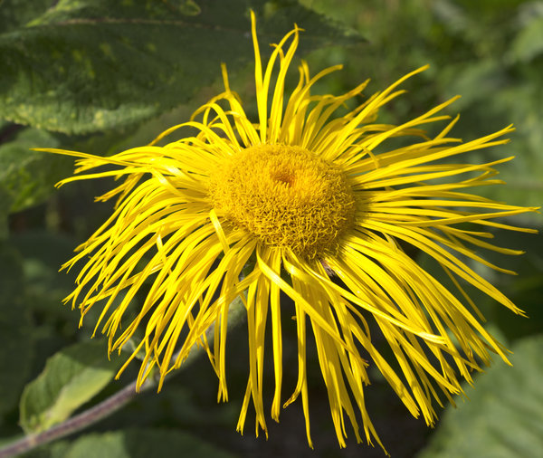 Mop-head flower