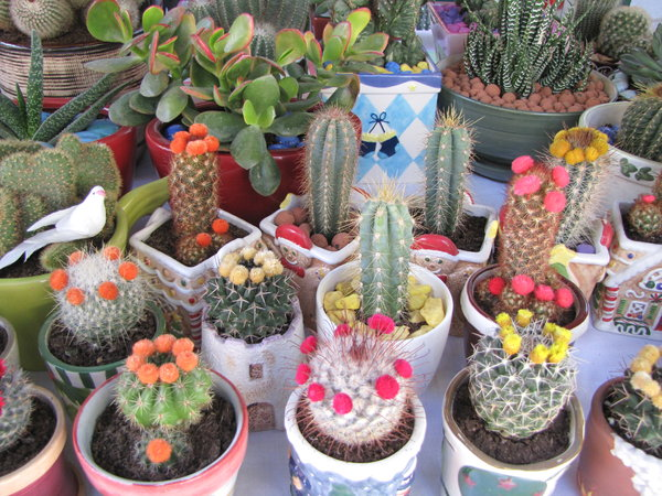 cactus: cactus flowers display