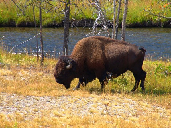 Bison - Yellowstone