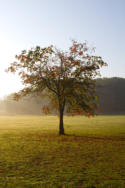 Single autumn tree