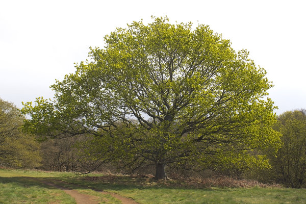 Fresh green tree: Fresh green leaves of an oak (Quercus) tree in spring in Surrey, England.