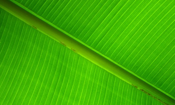 Banana leaf: Leaf from a banana palm. Backlit.