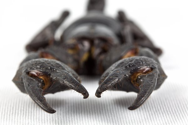 Black Scorpion Close-up: Close-up of a black scorpion isolated on a white background.