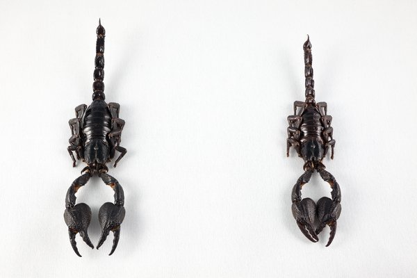 Black Scorpion Pair: Close-up of a black scorpion pair isolated on a white background.