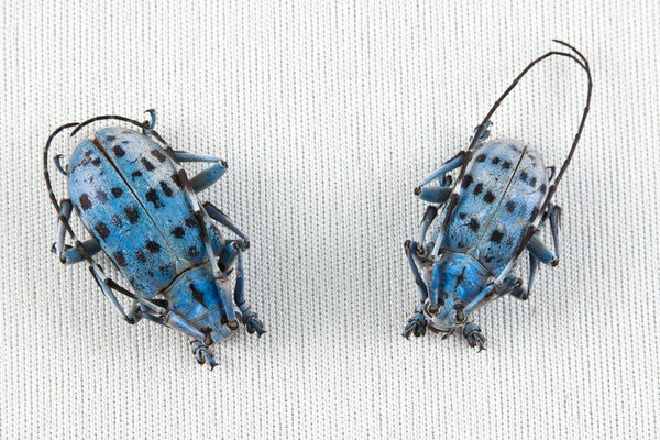 Pseudomyagrus Waterhousei: Pair of pseudomyagrus waterhousei beetles isolated on a white background.