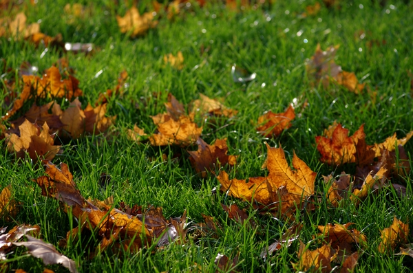 Leafs  on the lawn