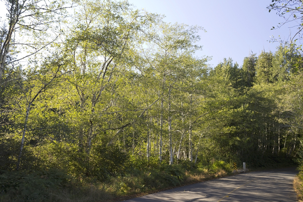 Rural lane with aspens: A rural lane through aspen forest on Vancouver Island, Canada.