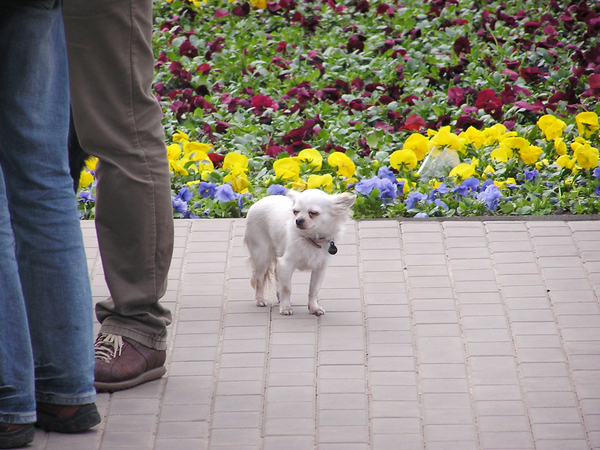 Too little: A small white dog.