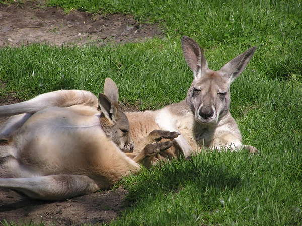 Kangaroo with a young one