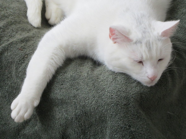 Lazy white cat: Lazy white cat on his special place