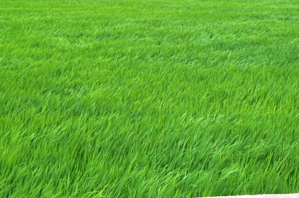 wind flowing green rice leaves