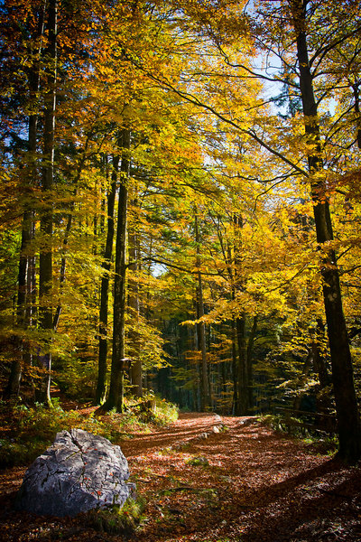 Autumnal Golden Beech Forest